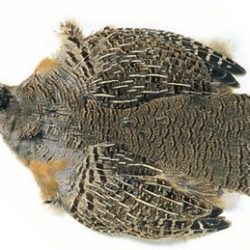 Chinese Partridge Skin